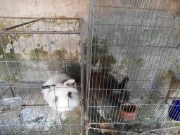 casal de coelhos lion