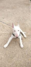 Título do anúncio: Filhote Bull Terrier. Fêmea