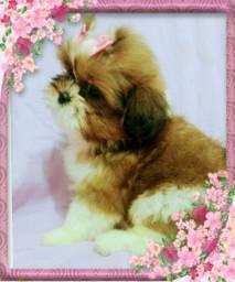 Linda Filhote de Shih tzu fêmea, coloração maravilhosa, com procedência e Pedigree