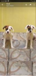 Filhotes de boxer, 2 meses, *