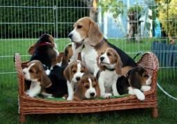 Fofinhos filhotes de Beagle, com garantia de vida!