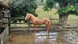 Título do anúncio: Cavalo Mangalarga Marchador