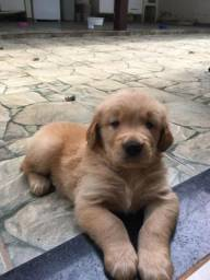 Filhotes Golden Retriever Com Pedigree