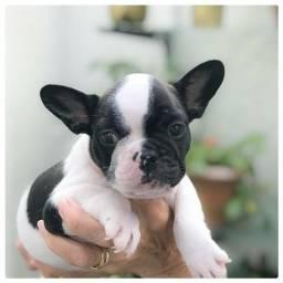 Bulldog francês MACHOS