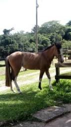Cavalos Crioulos em Viamão