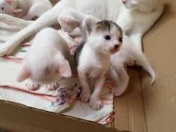 Gatos Siamês P adoção