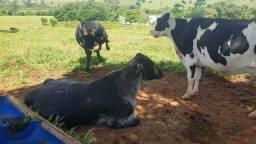Vacada de leite