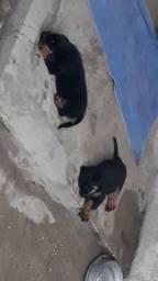 Vende se 2 fêmeas de rottweiler com pedigree apresento no ato da compra o pedigree