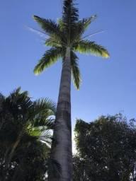 Palmeira imperial adulta 15 a 20 metros