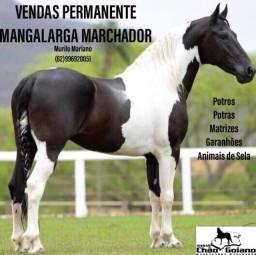 Título do anúncio: MANGALARGA MARCHADOR