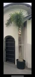 Título do anúncio: Vendo Palmeira