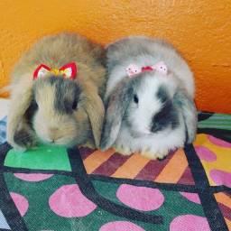 Título do anúncio: Filhotes de mini coelho mini lop linhagem 100% Uruguaia.
