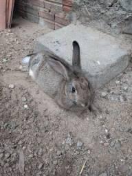 Título do anúncio: Vendo essa coelhinha ela tem três meses