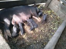 Ótima porca de cria,na primeira e segunda cria deu 9(nove) leitões!
