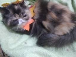 Título do anúncio: Lindos Gatinhos persa