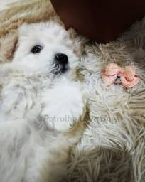Título do anúncio: Poodle fêmea toy