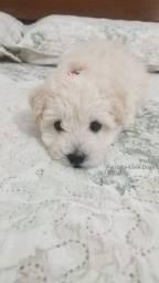 Título do anúncio: Poodle