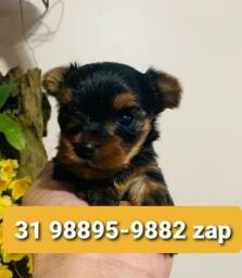 Título do anúncio: Filhotes Cães Yorkshire Terrier Miniatura