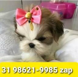 Título do anúncio: Filhotes Cães Criação Profissional BH Shihtzu Maltês Yorkshire Basset Lhasa Beagle