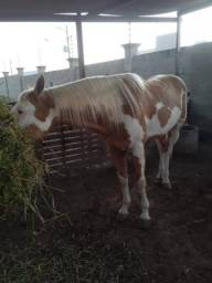 Vendo pant horse