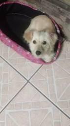 Doação de cadela com 7 meses