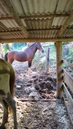 Vendo égua crioula pura única cria. filho dela está na foto cavalinho branco
