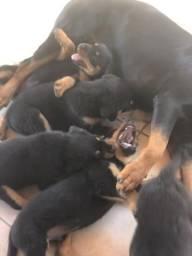 Cachorros rottweiler