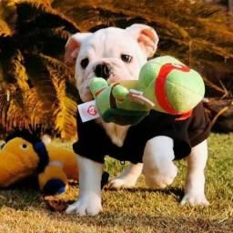 Bulldog inglês filhote em preço especial