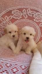 Poodle toy femeas