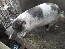 Vende se cachaço reprodudor piau e uma porca piau parida com 6 porquinhos