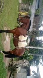 Vende-se égua crioula
