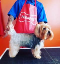 Cachorro Yorkshire Terrier - Nome: Tom - Reprodutor
