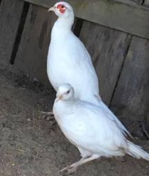 Casal de faisão jumbo e dois filhotes com 2 meses