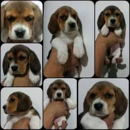Título do anúncio: Filhotes de Beagle tricolor Fêmeas  a pronta entrega