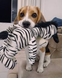 Título do anúncio: Filhotes Machos de beagle para reserva
