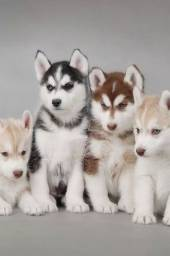 Título do anúncio: husky siberiano disponivel
