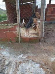 Título do anúncio: Filhote beagle barato