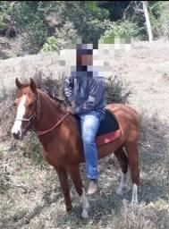 Cavalo paulista potro