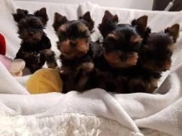 Yorkshire Terrier tamanhos micro e padrão, com suporte e assistência veterinária gratuita!