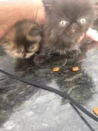 Filhotes gato persa puro