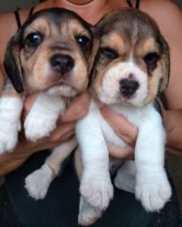 Beagle vacinados com garantias de vida e saúde!