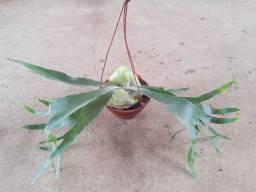Plantas ornamentais - chifre de veado