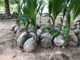 Mudas de coco