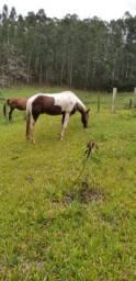 Cavalo quarto de milha no paint horse