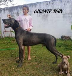 Dog Alemão azul