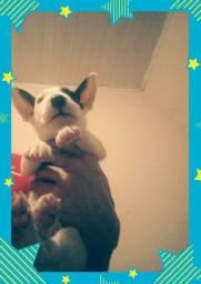 Título do anúncio: bull terrier macho com pedigree cbkc