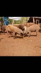 Título do anúncio: Vendo 6 porcos Matriz sendo 1 macho e 5 femia