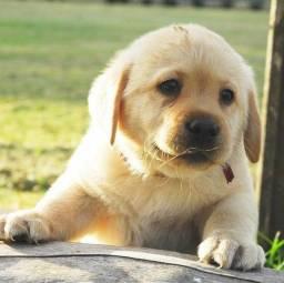Título do anúncio: Filhotes de Labrador lindos