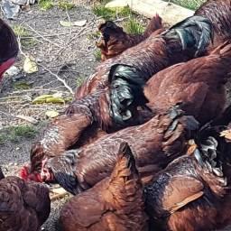 Título do anúncio: Rhode Island Red - Ovos Férteis - galinha vermelha