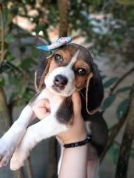 Machos e Fêmeas Beagle 13 Polegadas Pedigree Filhotes
